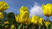 nature close up : Blooming yellow tulips on a blue sky background, closeup of tulips swaying in the wind. Stock Footage