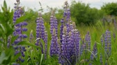 lupine : Purple lupines blooms in the fields. slow motion Stock Footage