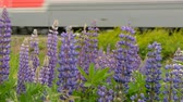 lupine : Purple lupines blooms in the fields. In the background a train is traveling Stock Footage