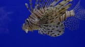 Close up. Bright blue background. Swims brown fish lionfish. Stock Footage