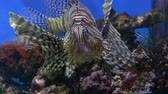 Close-up. Beautiful stone bottom. Brown lionfish posing for the camera