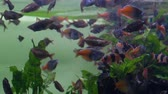 Aquarium. Near the surface of the water a flock of purple-pink fish eats food Stock Footage