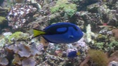 Close-up. A blue fish with a yellow tail swims in front of the camera. Stock Footage