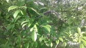 crispy : tamarind tree and leaves Stock Footage