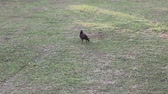 животные : black crow on field