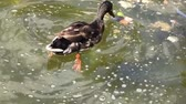 duck playing in the water