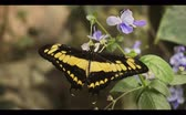 An exotic butterfly sits on a flower. close-up. Vídeos