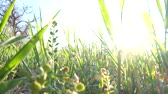 Macro footage of fresh spring grass backlit by sunshine