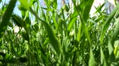 clorofila : fresh green grass closeup macro image