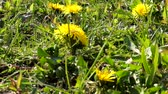 macro : Spring dandelion in fresh green grass footage