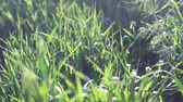backlight : Green spring grass with sun flares video.
