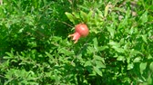 roma : Branch with small pomegranate in orchard