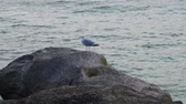avian : Lonely seagull sitting on a cliff Sea of Azov