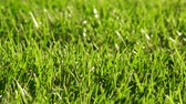 backlit : Macro of Green Grass. Environment concept. Green Nature Background. Full HD 1080 stock video footage