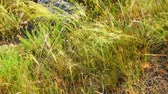 veld : Feather-grass step flicker in wind. Small violet flowers is in grass