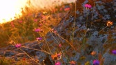 veld : Small flowers shake in wind on sunset.