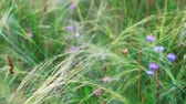 refinado : Feather-grass flicker in the wind small violet flowers on blurred background