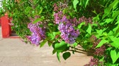 syringa : Syringa flowers waving in the wind, spring scene