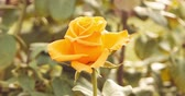 fragility : Yellow roses in rose-garden in autumn time set of toned footages