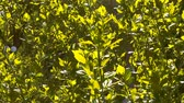 botany : Sunlighted summer foliage background of bushes tops.