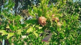 лиственный : Pomegranate Fruite On Branches Moving With Wind