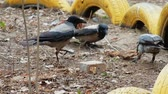 cornix : Three Crows Fight For Food. Bird Watching. Stock Footage