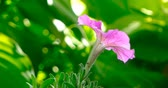 ipomoea : Purple morning glory (ipomoea oenotheroides) close up swaying on wind Stock Footage