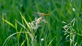 стрекоза : Dragonfly sitting on blade of grass and then fly away backlit shot