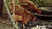 et suyu : Two chicken walking in a mud next to a dirty puddle, organic poultry in slow motion