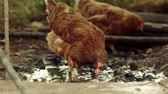 pintinho : Slow-motion shot of two free range chickens in a stack yard walking and searching for worms in puddle. Slow motion 120fps footage