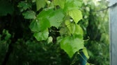 uvas : Summer rain water drops fall down on bright grape leaves on new twig. Slow motion 120 fps.