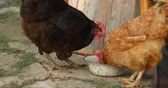 bem estar : Gree range chicken eat grain from bowl handheld footage 4k.