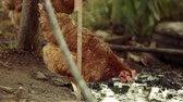 ev hayatı : Free range chichen organic feeding in mud of garden puddle Stok Video