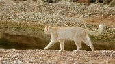 contato com os olhos : A ginger-white cat walking on sand-and-shells shore of the Sea of Azov, Russia Vídeos