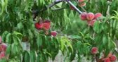 ameixa : Ripe peaches on branches in orchard handheld 4k shot