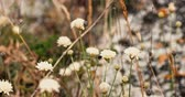 macro fotografia : Wildflowers shaking on wind, amny small flowers of white color fluttering in the breeze