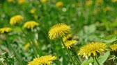 pee : Macro footage of Dandelion Taraxacum campylodes, yellow flower of young dandellion in lush grass shaking on wind pull focus shot 4k Stock Footage
