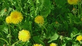 pee : Many young yellow dandellion flowers in fresh grass above view macro footage 4k natural color grading