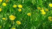 pee : Closeup shot of Taraxacum campylodes field, spring yellow flower of young dandellion in lush grass moving on wind low angle natural color grading