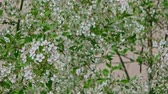 wild cherry : Bird-cherry tree twigs covered with small white flowers moving in wind in spring time