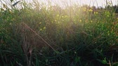 夏季 : Wildgrass with small yellow wild flowers shivering on wind backlit