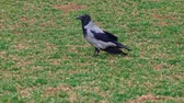 cornix : Gray hooded crow - Corvus cornix - is a species of birds from the genus of crows. A gray crow on the grass.