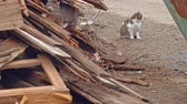itself : Une cat sitting and looking about and another exploring heap of old planks 4k footage Stock Footage