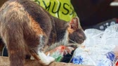 киска : Tri-color homeless cat eating something in garbage then look back