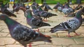 feathering : A Lot of walking pigeons in city park ground level view.