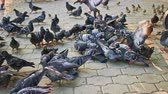 feathering : Crowd of city doves feeding on pavement walking and fly out