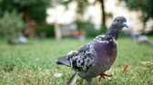 kismadár : Feral pigeon walking on grass in slow motion
