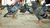 feathering : Many Feral pigeons on pavement in slow motion