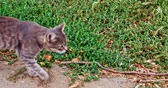 lovable : Gray cat walking outside along the grass edge