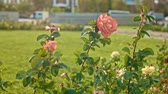 czerwona róża : Garden with wilting in autumn roses slow motion